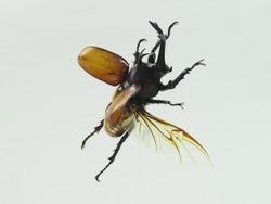 Japanese Beetle flying
