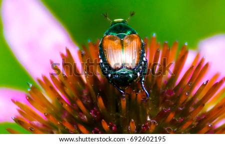 Japanese Beetle on Purple Cone Flower Echinacea, Medicinal Plant, Pollination