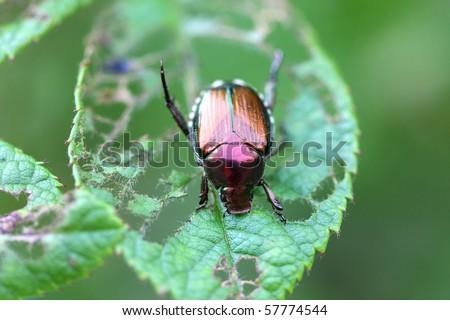 Japanese Beetle - Popillia japonica - stock photo