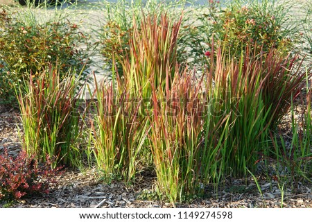 Japanese bloodgrass, Imperata cylindrica 'Red Baron', grown as an ornamental plant. Poland, Europe