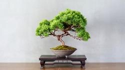 Japanese bonsai for my hobby