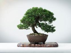 japanese Bonsai on wood white floor Art of Japan
