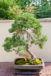 Japanese bonsai tree in light and shadows outdoors. Sargent juniper, 270 years