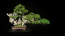Japanese bonsai tree style used for decoration. Bonsai is used to decorate the shop. Japanese bonsai tree on a table.