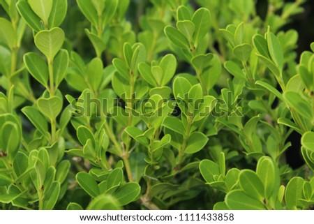 Japanese boxwood bush - Buxus microphylla  #1111433858