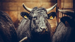 Japanese bull covered in black hair looking at camera