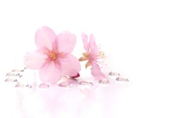 Japanese cherry blossom flowers and the dew drops #2