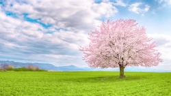 Japanese cherry sakura in bloom. Flowering tree of Japanese sakura in spring. One tree on green meadow. Single or isolated cherry tree on the horizon. Landscape, scenery or countryside in spring time.
