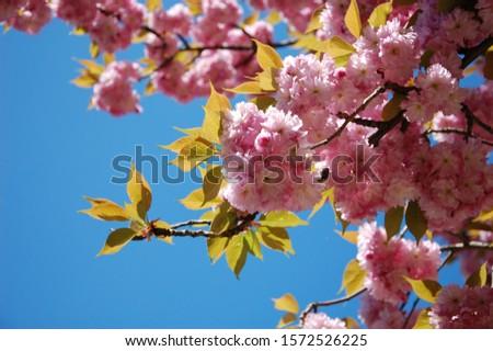 Japanese cherry. Sakura. Spring sakura blossom. Pink flowers against the sky.