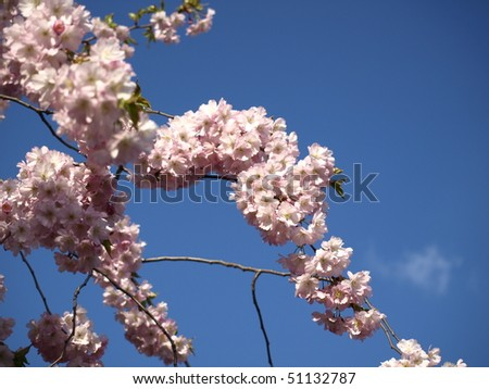 japanese cherry tree pictures. japanese cherry tree blossoms.