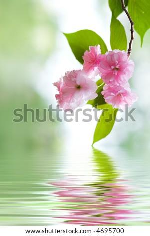 cherry tree blossom japan. stock photo : Japanese Cherry