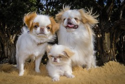 Japanese Chin Dogs with Puppy - Portrait