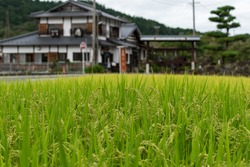 Japanese countryside landscape with green rice paddy and farm houses on the background. Japanese farmland rural landscape with rise field