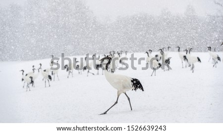 Japanese cranes in snowfall. The red-crowned crane. Scientific name: Grus japonensis, also called the Japanese crane or Manchurian crane, is a large East Asian Crane. Winter season.