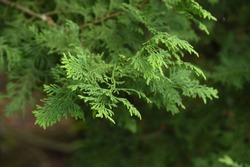 Japanese cypress (Hinoki cypress) boasts the world's highest quality as a durable and fragrant construction material.