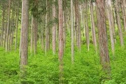 Japanese cypress (hinoki) forest, Kiso in Nagano prefecture, Japan