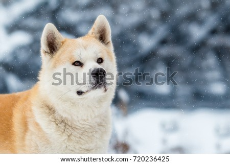 Japanese Dog Akita Inu Winter Background #720236425