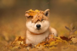 Japanese dog breed Shiba inu with an orange autumn foliage on its head. Soft background of an autumn Park (forest).
