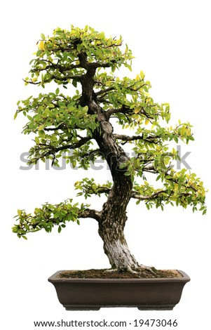 Japanese Evergreen Bonsai on Isolated background