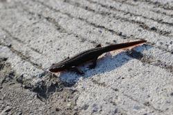 Japanese fire belly newt
