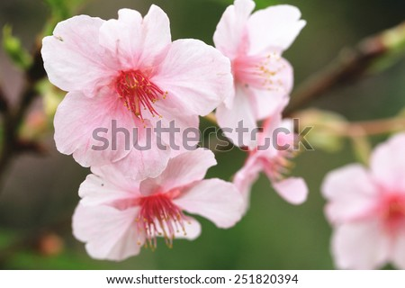 Japanese Flowering Cherry blossoms,closeup of beautiful pink with red flowers blooming in the garden