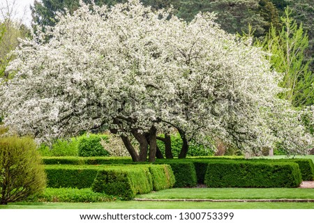 Japanese flowering crabapple (binomial name: Malus floribunda) in bloom, like a white cloud, in a hedge garden, for themes of spring and profusion