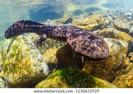 Japanese Giant Salamander in Mountain River of Gifu, Japan