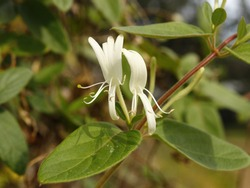 Japanese honeysuckle invasive vine in Florida imported from  Asia, it engulfs smaller plants in wild.
