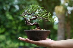 Japanese Juniper Bonsai Tree on Hand, Background in the garden.