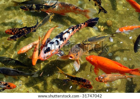 Japanese Koi fish in a pond