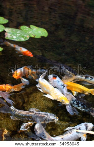 Japanese Koi Fish Swimming in Pond - stock photoJapanese Koi Fish Swimming