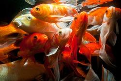 Japanese koi fish underwater