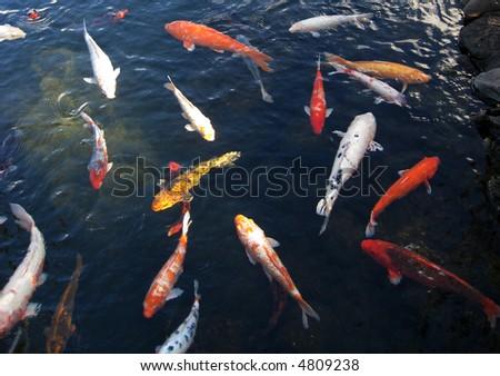 Japanese koi in pond - stock photo
