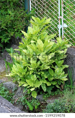 Japanese laurel or Aucuba japonica or Spotted laurel or Gold dust plant or Japanese aucuba dioecious dense upright rounded evergreen shrub plant with lush foliage of leathery opposite broad lanceolate