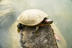 Japanese little turtle is climbing on the rock over the pond or river in the Japanese garden style. Presented concept of slow success, an conqueror symbolic.