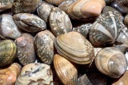 Japanese littleneck clam(Manila clam (Ruditapes philippinarum)