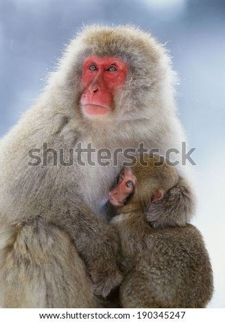 Japanese macaque and her baby