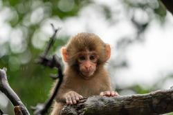 Japanese macaque in Arashiyama, Kyoto. A baby monkey is climbing a tree on a rainy day.