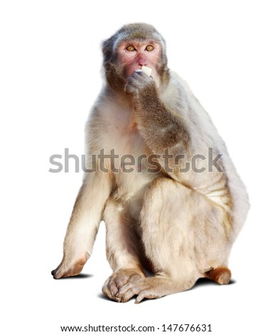 Japanese macaque. Isolated  over white background with shade