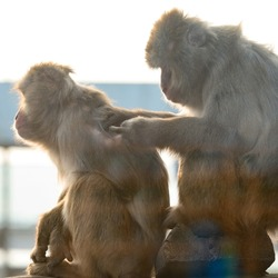 Japanese macaques and their life in the zoo, primates in the cage, monkeys in the zoo.