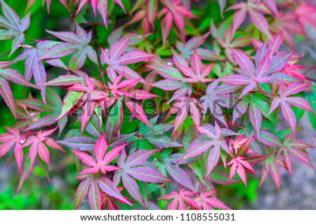 japanese maple, acer japonicum. background