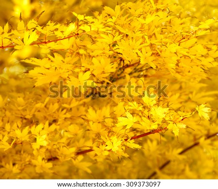 Japanese maple (acer palmatum), yellow leaves  #309373097