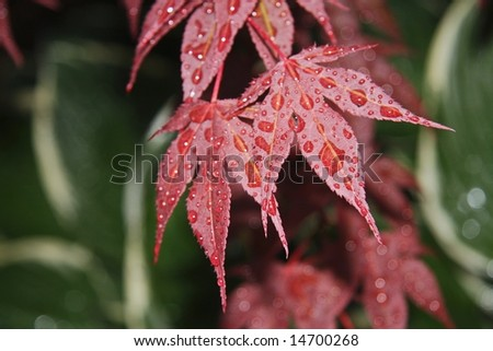 Japanese Maple after the rain I