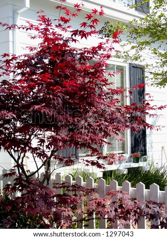 Japanese Maple against white house and fence