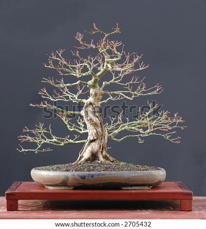 japanese maple bonsai tree. stock photo : Japanese maple