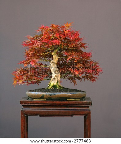 laceleaf japanese maple bonsai. japanese maple bonsai for