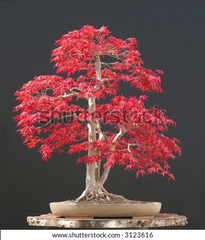 japanese maple bonsai stock photo 3123616 shutterstock. Black Bedroom Furniture Sets. Home Design Ideas