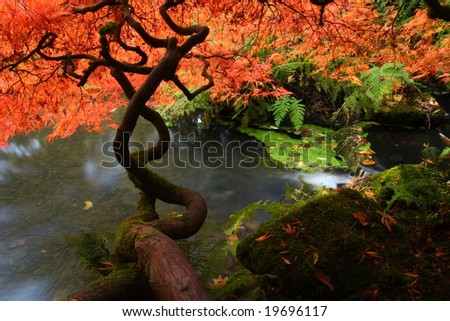 Japanese maple during fall in Kubota Garden, Seattle