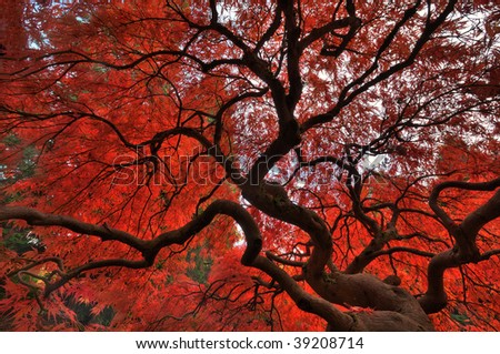 Japanese maple glowing with vibrant fall colors