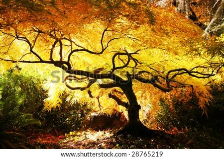 Japanese Maple in Park